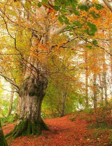 Autumn woodland scene. Large tree and leaf covered path. Cliff Woods, near Belleek, County Donegal