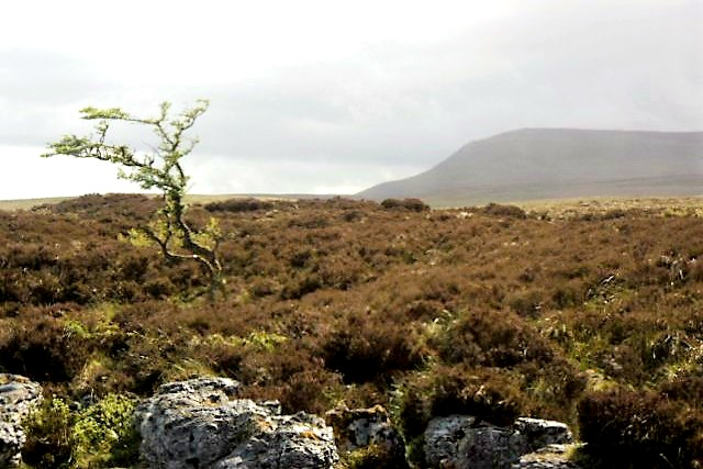 Fairy Tree with Cuilcagh Mountain in the background